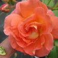 "Welcome to Angel Gardens ""We're Rooting For You!"" We grow Own-Root, 100% Organically grown roses We ship year-round to every state in America Your choice USPS or Fed-ex. We specialize in […]"